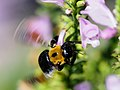 Japanese Carpenter Bee クマバチ On Physostegia Virginiana Flowers Obedience ハナトラノオ (226297573).jpeg