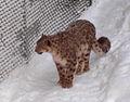 Jardin zoologique du Québec - panthère des neiges - 2006-02 cropped.jpg
