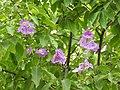 Jarul flowers Lagerstroemia speciosa DSCN8774 (2).jpg