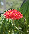 Jatropha multifida (1).jpg