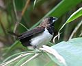 Javan Munia (Lonchura leucogastroides) - Flickr - Lip Kee.jpg