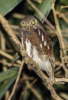javan owlet wikipedia