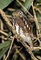 Javan Owlet - Carita - Java MG 3575 (29030338883).jpg