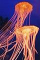 Jellyfish, Osaka Aquarium.jpg