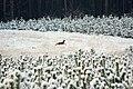 Jelonek zima 2010 pod Goleniowem - panoramio.jpg