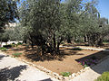 Jerusalem Garden of Gethsemane - Mount of Olives - Stereo pair I (6036449428).jpg