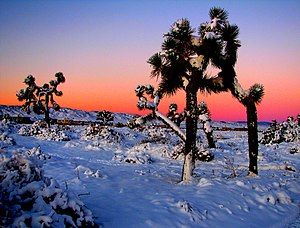 Antelope Valley - Joshua trees in snow, near Lancaster, California