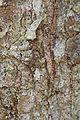 Jumping Spider - Platycryptus undatus, Prince William Forest Park, Triangle, Virginia.jpg