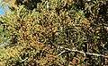 Juniperus ashei pollencones.jpg