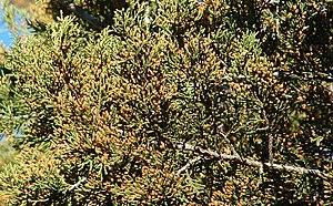 English: Juniperus ashei foliage and pollen co...