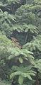 Karori Tree Ferns - Flickr - Teacher Traveler.jpg