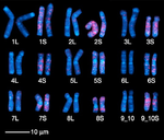 Karyotype of African clawed frog (Xenopus laevis).png
