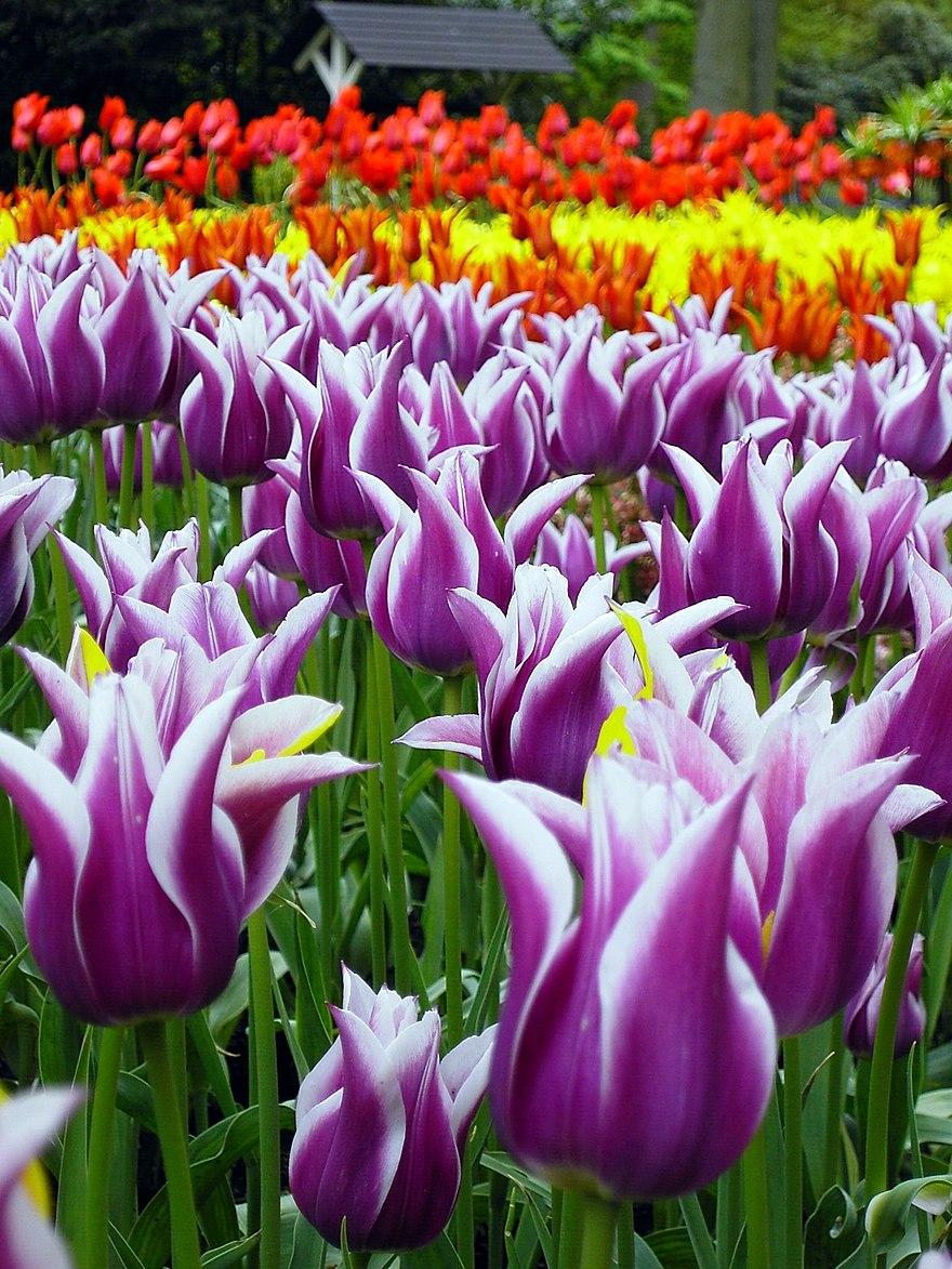 Tulip wiki   TheReaderWiki