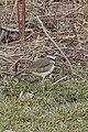 Killdeer (Charadrius vociferus) - Kitchener, Ontario 2019-03-27.jpg
