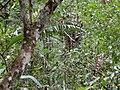 Kinabalu Park, Ranau, Sabah, Malaysia - panoramio (27).jpg