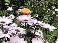 Kirkuk Flower 7.jpg