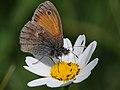 Kleines Wiesenvögelchen, Coenonympha pamphilus 9.jpg