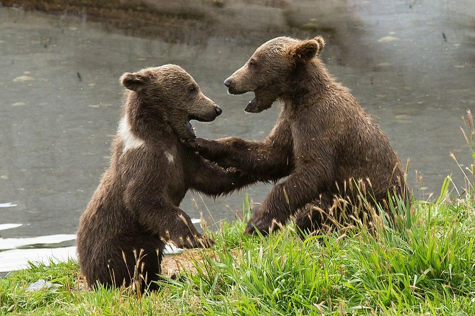 Kodiak brown bears FWS 18385