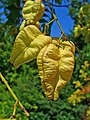 Koelreuteria paniculata 006.JPG