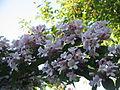 Kolkwitzia amabilis02.jpg