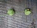 Korina 2015-09-01 Staphylea pinnata 2.jpg