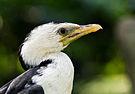 Kräuselscharbe Phalacrocorax melanoleucos 01 2014.jpg
