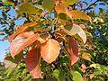 Kruška pastorčica - lišće u jesen.jpg