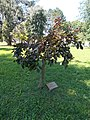 Kusel twin town memorial tree, Vizslapark, 2020 Zalaegerszeg.jpg