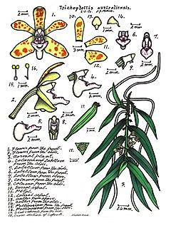 <i>Trichoglottis australiensis</i> species of plant