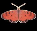 LS002 Acraea violea.png