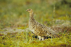 Willow ptarmigan - Female in summer plumage, Alaska