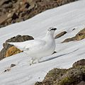 Lagopus muta Iceland Snaefellsnes April 2012.jpg