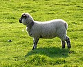 Lamb near Cheselbourne - geograph.org.uk - 1319016.jpg
