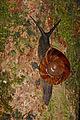 Land Snail (Bertia brookei) (23253648466).jpg