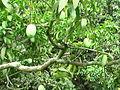 Langra Mango farm 2, Mathurapur, Bhagalpur Bihar.JPG