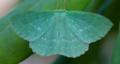 Large emerald - geometra papilionaria (28373578327).png