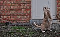 Larry the cat standing on gravel and verociously attacking a wool string in Auderghem, Belgium (DSCF2327).jpg
