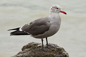 Heermann's gull - Adult non-breeding