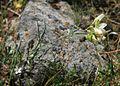 Lathyrus brachypterus 2.jpg