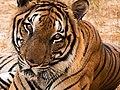 Lazy Bengal tiger in Ridiyagama Safari Park.jpg