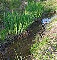Le Rosenmeer en aval (printemps peu pluvieux).jpg