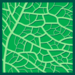 Leaf morphology reticulate.png