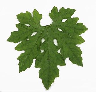 Momordica charantia - Leaf of bitter gourd