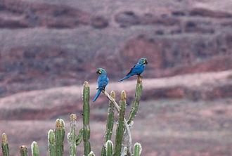 Lear's macaw - Lear's macaw, NE Brazil.