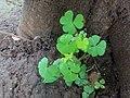 Leaves group in tree near kali river bank dandeli, india.jpg