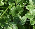Leaves of Ficaria verna.jpg