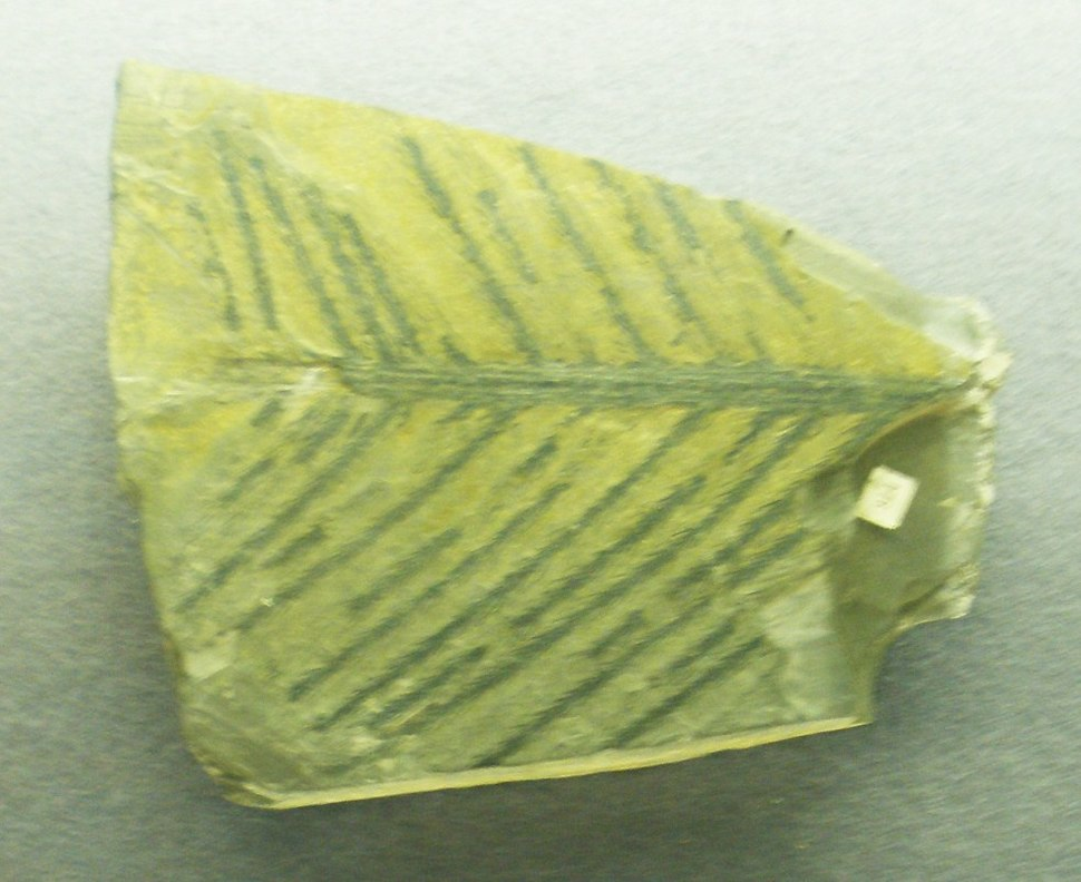 Lebachia piniformis