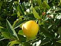 Lemon, DSCF2772.jpg