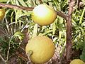 Lemons fruit on tree.jpg