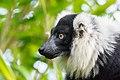 Lemur (26773393149).jpg